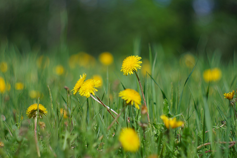 Organic VS  Chemical Lawn Care - REAL Organic Lawn Care by