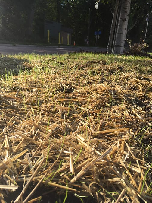 New grass growing up through straw